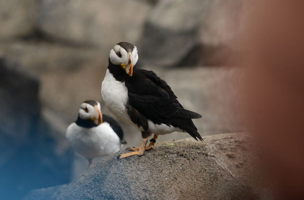 A pair of horned puffins watches the visitors at the Alaska SeaLife Center in Seward on Thursday, May 4, 2017. (Bob Hallinen / Alaska Dispatch News)