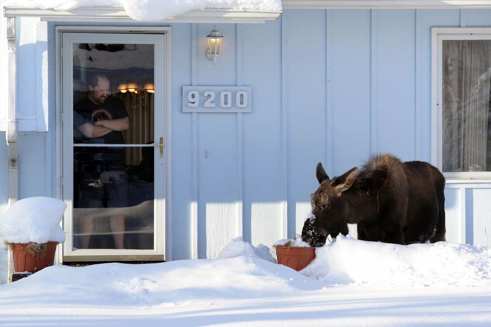 Brandon Long watches a moose calf polish off a pot of geraniums on Jan. 25, 2017, just off West Dimond Boulevard in South Anchorage. (Erik Hill / ADN archive)