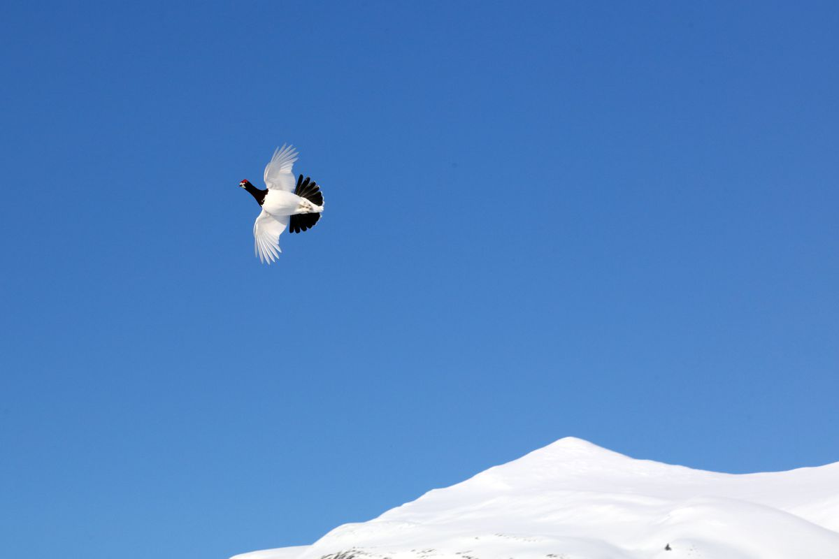 A male willow ptarmigan wheels in the air in the Kenai Mountains in May 2019. (Photo by Steve Meyer)