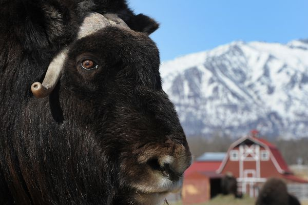 Luna is a fifteen-year-old Musk Ox living at the The Musk Ox Farm in Palmer on Wednesday, April 12, 2017. The non-profit farm will open to the public on Mother's Day, May 14. During the spring, the under-wool called Qiviut is combed from the animals and used by knitters. (Bill Roth / Alaska Dispatch News)