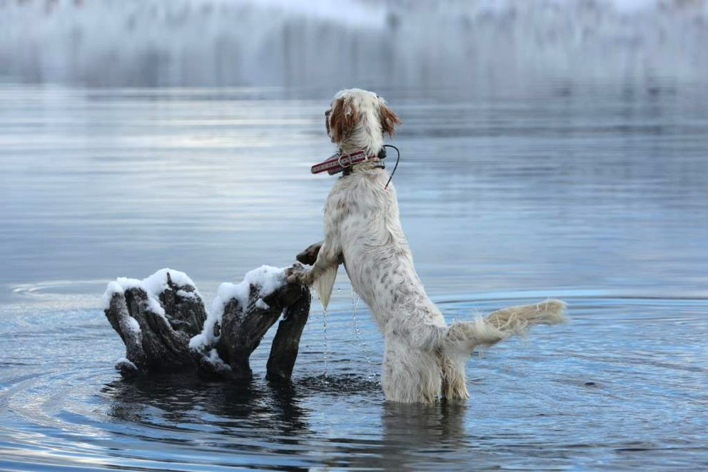 The English setter Hugo follows a song bird into freezing water. (Photo by Steve Meyer)