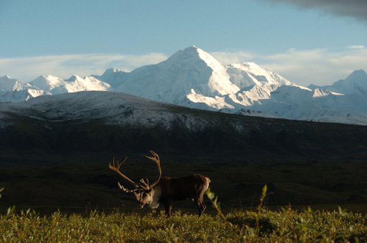 A bull caribou feeds on the tundra at Denali National Park between Wonder Lake and the Eielson Visitors Center in August 2006. (Bob Hallinen / ADN archive 2006)
