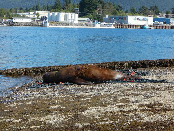 A sea lion which had been on land for four days was transported back to water after being darted, Sept. 3, 2018. (NOAA photo)