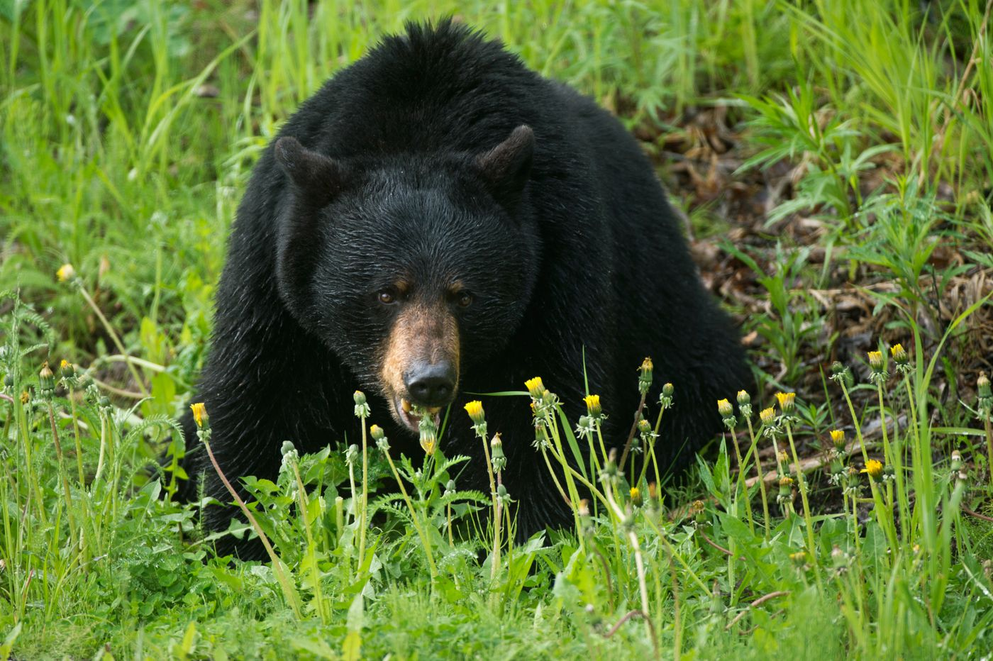 A black bear munches dandelions along Arctic Valley Road, while three cubs wrestled with each other and climbed nearby trees along Arctic Valley Road on June 13. (Marc Lester / Alaska Dispatch News)