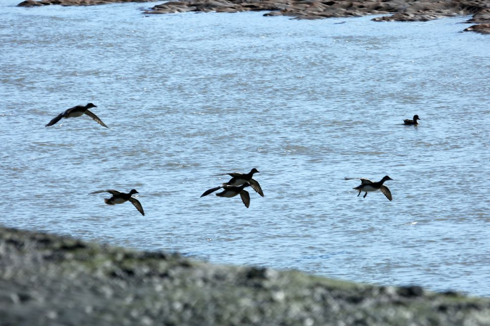 Widgeons come in for landing in Redoubt Bay in September of 2015. (Photo by Steve Meyer)