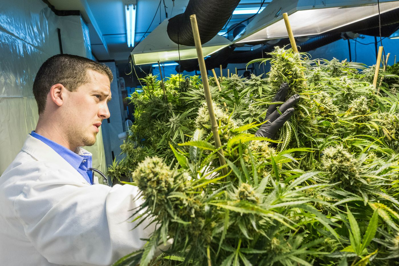 Ryan Smith, owner of Alaska Hydro Gardens, checks mature marijuana plants at his cultivation facility in Anchorage, Alaska on Wednesday, May 13, 2015. The company, which was established to serve medical marijuana patients, was forced to shut down pending final regulations from the newly-created state Marijuana Control Board.