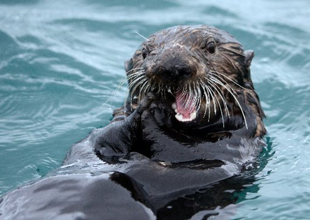 A sea otter munches on a mussel in the Seward small boat harbor on March 6, 2015. (Bob Hallinen / ADN)