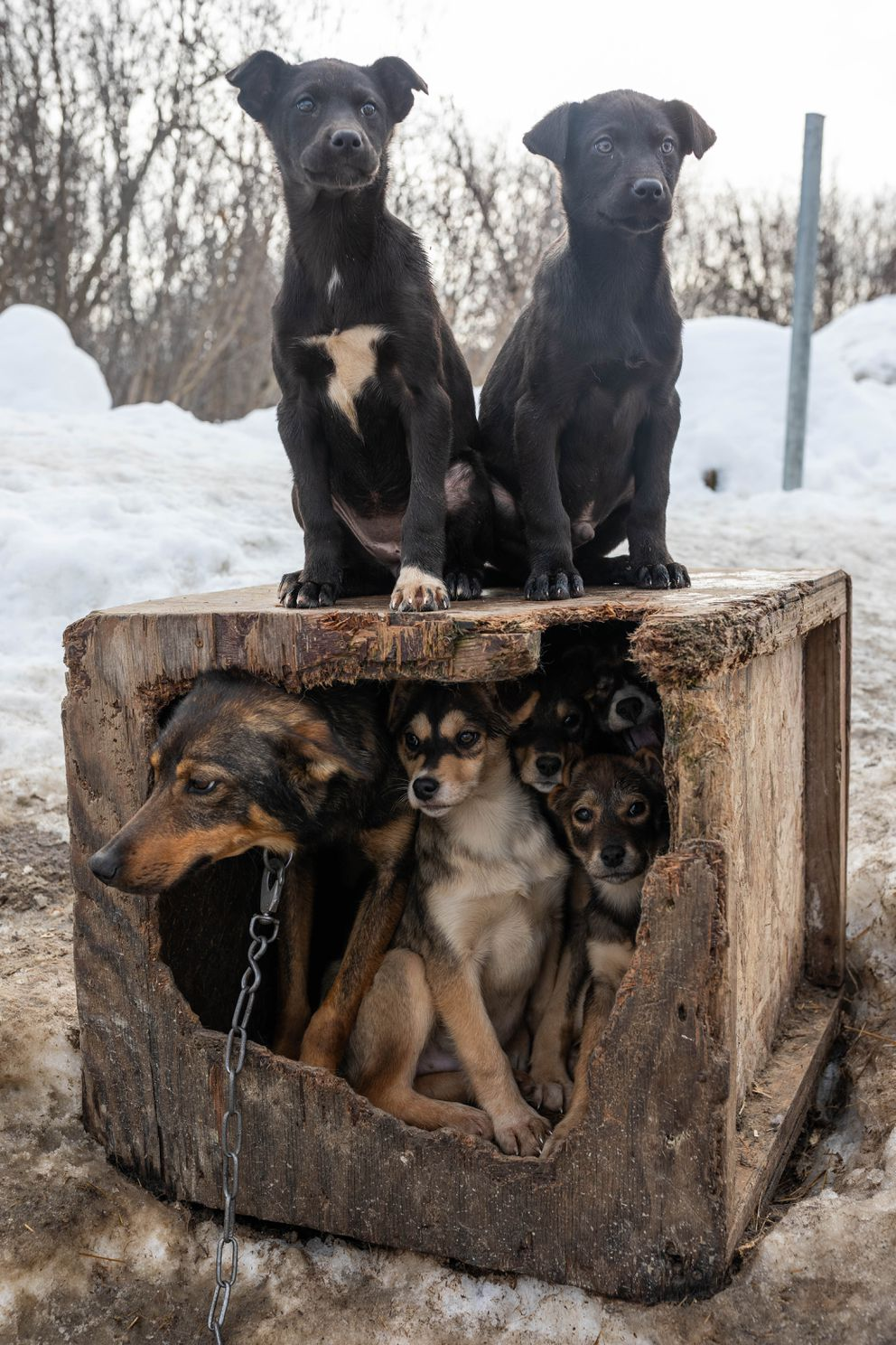 Young pups crowd their mother's doghouse in Basil Larson's dog yard. (Loren Holmes / ADN)