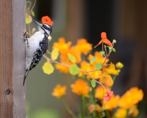 A woodpecker explores a post in an East Anchorage yard, August 2, 2018. (Anne Raup / ADN)