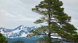 Exploring trees in the country's farthest north pine grove
