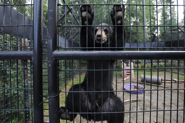 Two orphaned black bear cubs, a male from Valdez and a female from Juneau, play at the Alaska Zoo on Thursday, July 20, 2017, shortly before boarding a direct flight to their new home at the San Francisco Zoo. The Alaska Zoo has been caring for seven orphaned bear cubs (5 black and 2 brown) this summer. Alaska Zoo executive director Pat Lampi said that when the two cubs were put together they bonded quickly which makes the transition into captivity and transition moving to San Francisco much better because they have each other. (Bill Roth / Alaska Dispatch News)