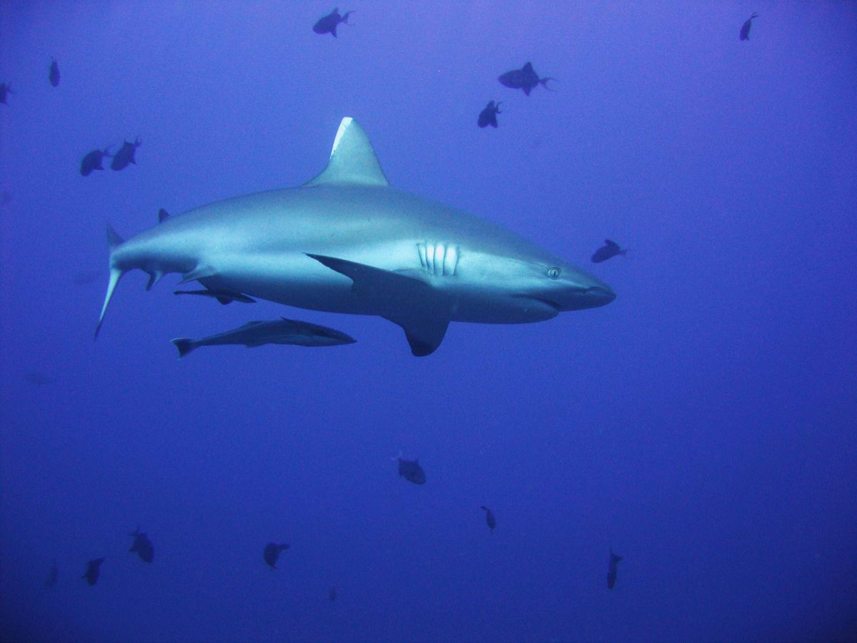 A reef shark. (Nadja Brandt/Bloomberg/File)