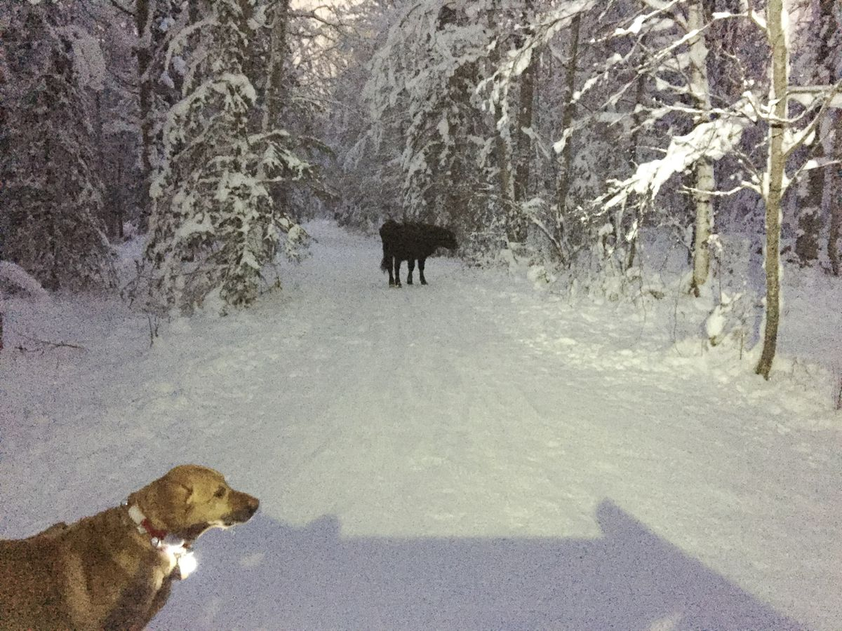 This Dec. 26, 2018 photo provided by Meg Kurtagh shows a cow in the middle of on the east side of Anchorage. A rodeo cow named Betsy has evaded capture for six months as she wanders the trails of Alaska's biggest city, the cow's owner said. The 3-year-old cow