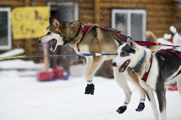 A dog in Travis Beals' team leaps after arriving in Shageluk during the Iditarod on March 8, 2019. (Marc Lester / ADN)