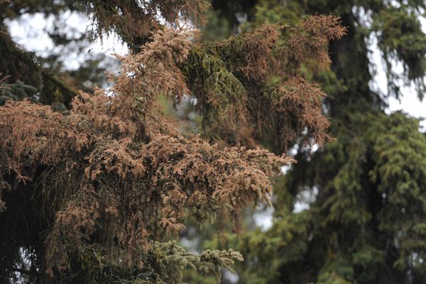 Dead needles on a spruce bark beetle infested tree in the Turnagain Heights subdivision in West Anchorage on Thursday, May 9, 2019. (Bill Roth / ADN)