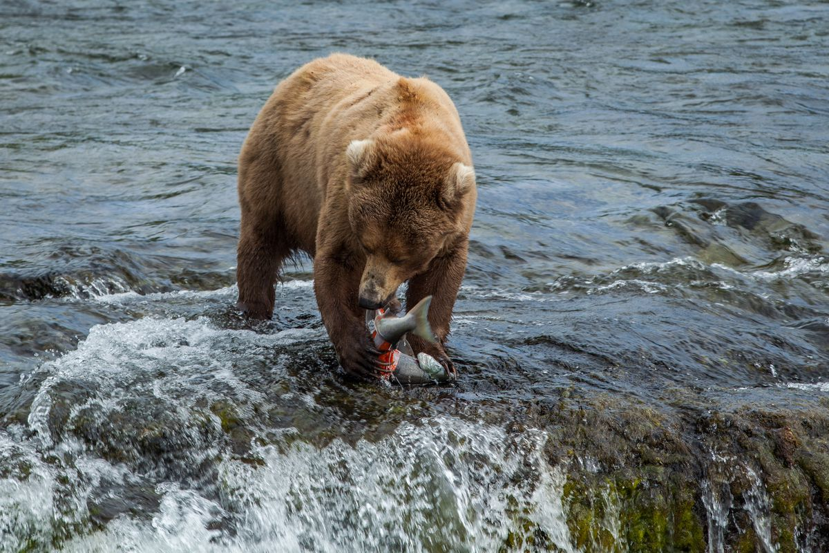 Brown bears at Brooks Falls in Katmai National Park July 1, 2015 feast on sockeye salmon skin, which has a nutritious layer of fat.