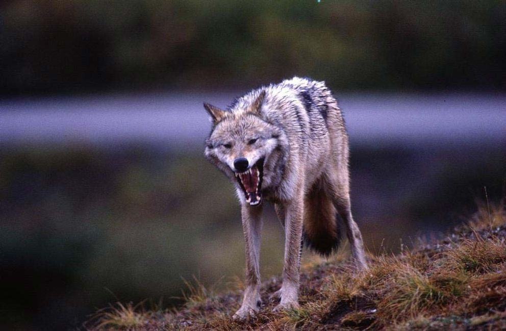 A wolf in Denali National Park and preserve in 2001. (Bob Hallinen / ADN archive)