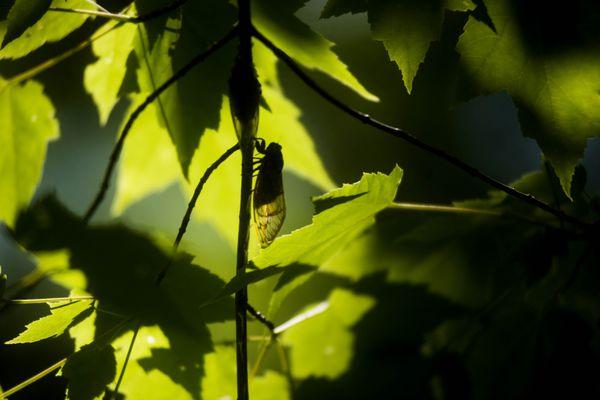 Brood II cicadas dangle from a Virginia tree in 2013. Photo for The Washington Post by Amanda Voisard