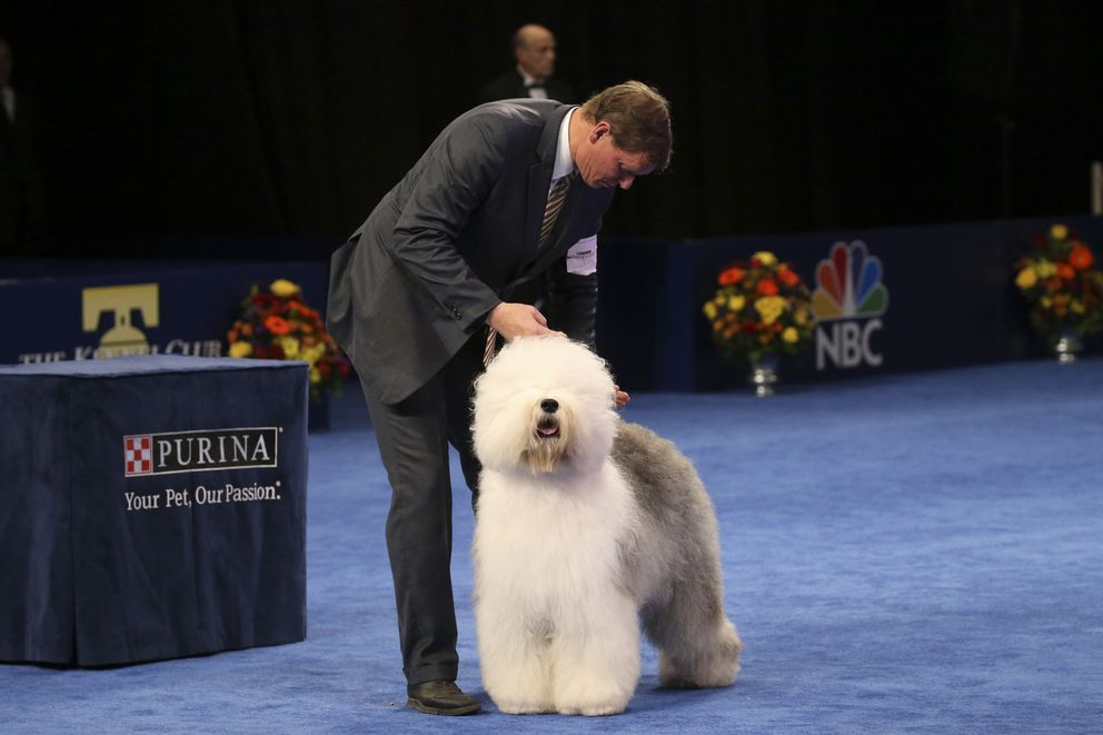 An Old English sheepdog named Sophia was the Herding Group winner. (Bill McCay, NBC)