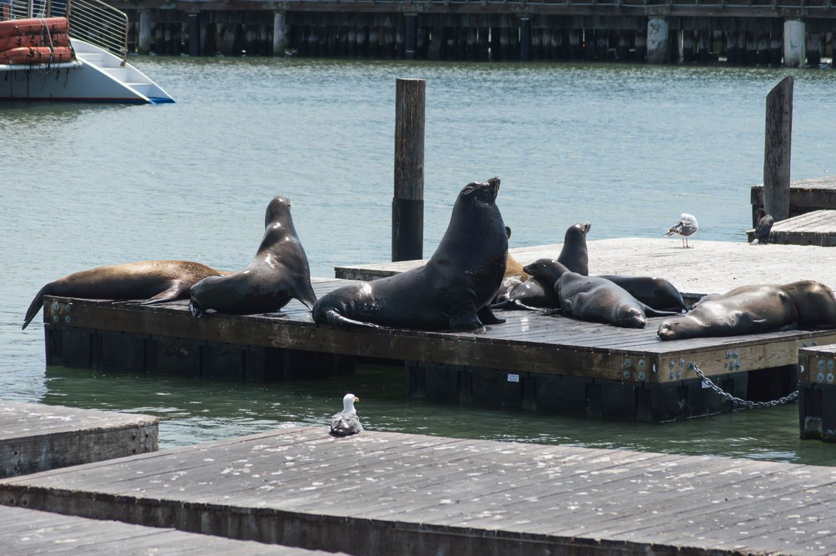 Sea lions at Pier 39 in San Francisco. (Supercarwaar via Wikimedia Commons)