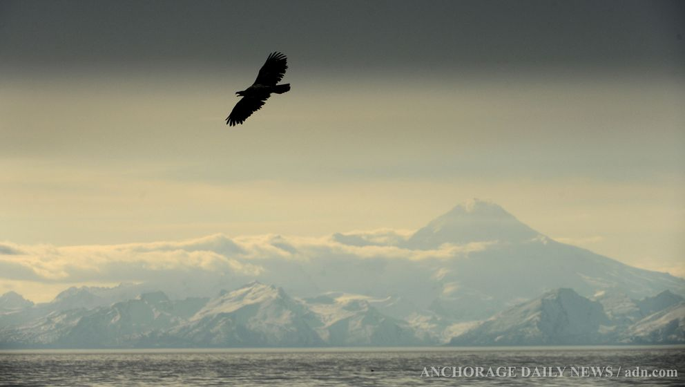 A bald eagle flies over Cook Inlet with Mount Redoubt in the background at Anchor Point on Sunday, May 12, 2013. (Bob Hallinen / ADN)