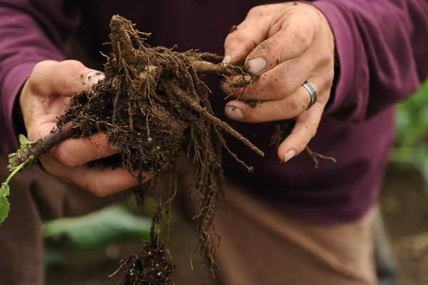 Rob Wells grows and sells dahlias and dahlia tubers from his Palmer, AK area farm. Wells shows the tubers in the root ball of a dahlia flower in one of his greenhouses on Wednesday, August 28, 2013.