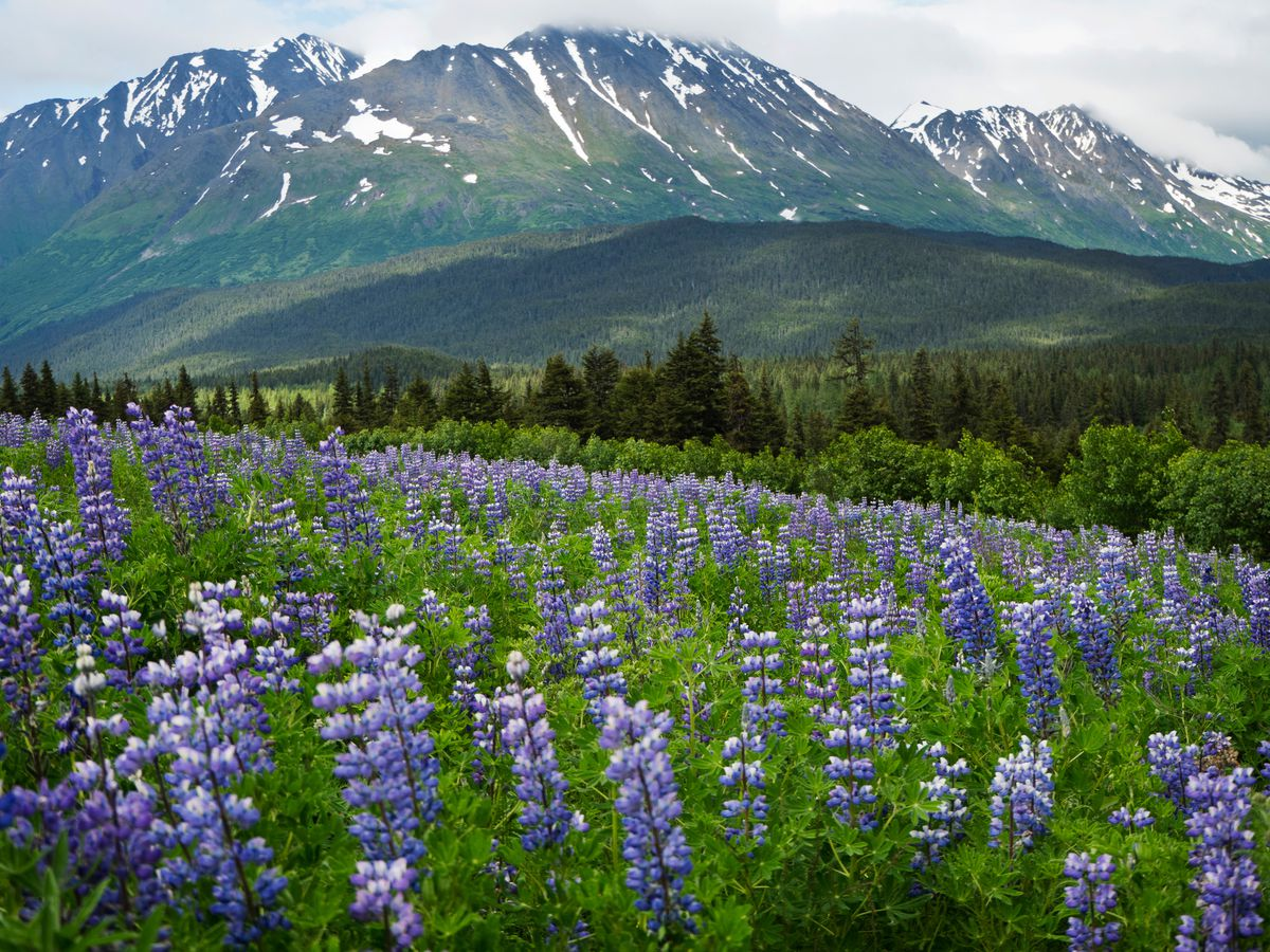 Lupine blankets a hillside along the Seward Highway on the Kenai Peninsula about 15 miles north of Seward on June 30, 2017. (Marc Lester / ADN)