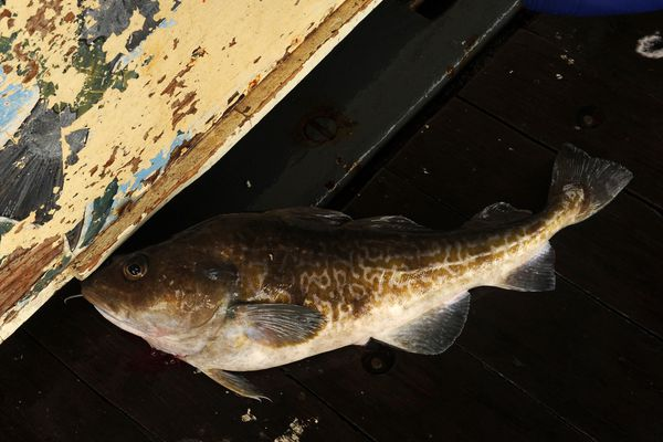 A Pacific cod is caught from the back deck of the US Fish and Wildlife Service research boat R/V Tiglax to Buldir Island in the Aleutians during a trip from Adak Island to Attu Island on a weeklong research mission in southwestern Alaska, on Tuesday, June 2, 2015. Scientists on the R/V Tiglax conduct research in the Alaska Maritime National Wildlife Refuge. (Bob Hallinen / ADN)