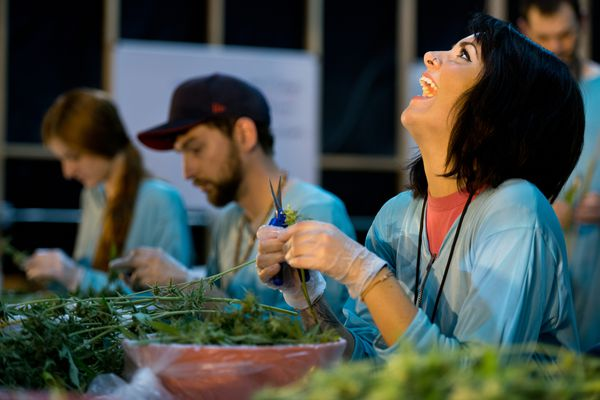 Pictured: Chelsea Stubbs, one of 23 Monkey Grass Farms employees, cuts buds from marijuana plants in East Wenatchee, Washington. Sept. 19, 2014