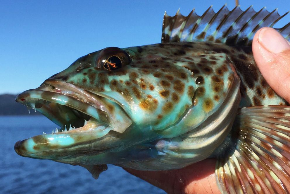 This blue lingcod was caught by Brian Pederson near Knight Island on Friday, Sept. 2, 2016, in Prince William Sound. (Daryl Pederson)