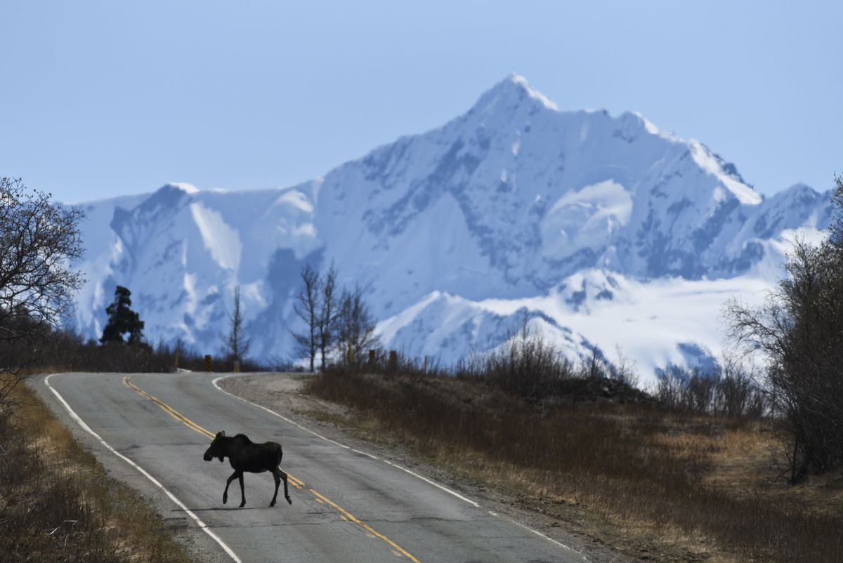 A moose crosses the Richardson Highway north of Glennallen on May 15, 2020. (Marc Lester / ADN)