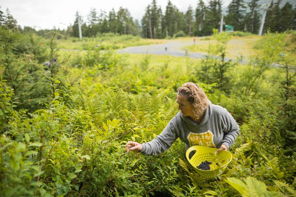 Cherie Ball picks blueberries Saturday at Alyeska Resort. Ball plans to use the berries in smoothies. (Loren Holmes / ADN)
