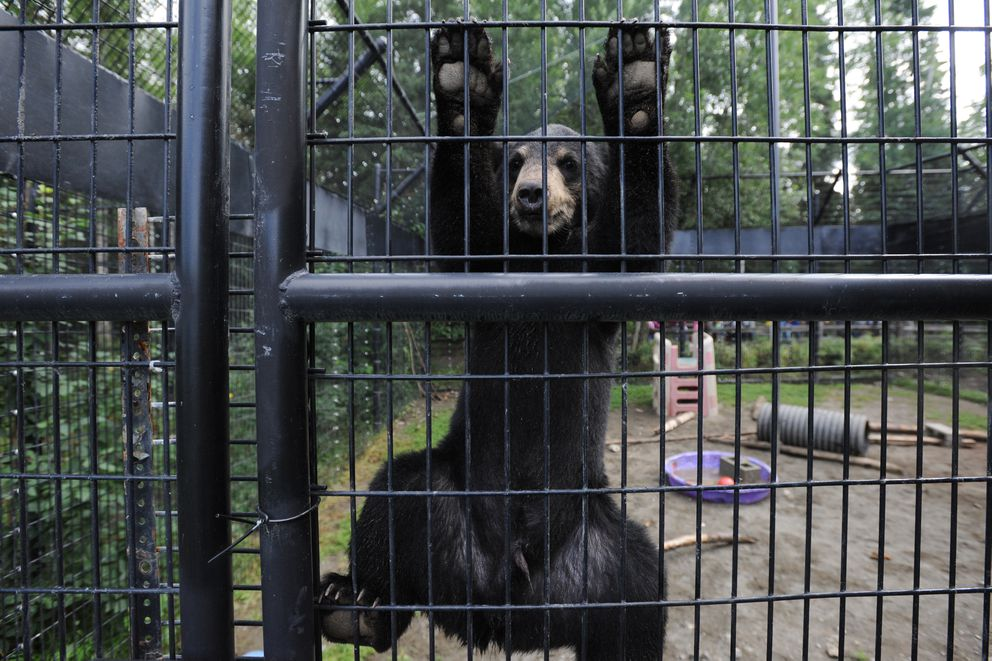 The Alaska Zoo has been caring for seven orphaned bear cubs (five black and two brown) this summer. (Bill Roth / Alaska Dispatch News)