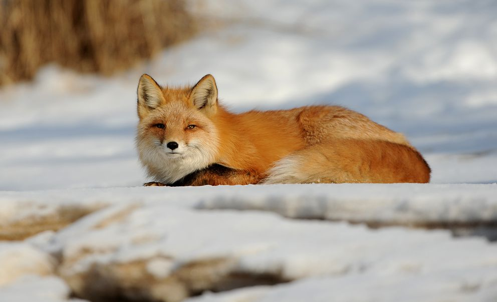 Curled up for a rest. (Bob Hallinen / ADN)