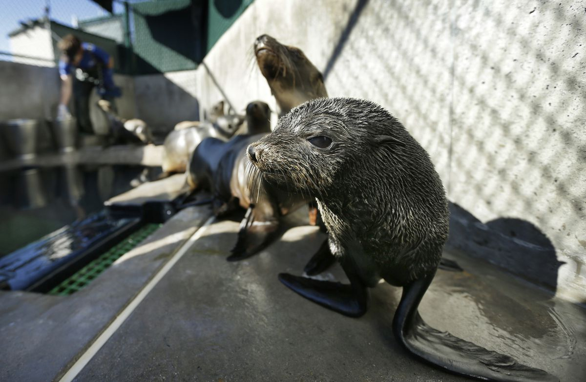 "In this Feb. 26, 2013, photo, a Guadalupe fur seal, foreground, passes by as SeaWorld animal rescue team member Heather Ruce feeds a California sea lion at a rescue facility in San Diego, with rescue crews seeing a higher than average number of stranded sea lions. Marine biologists nicknamed a patch of persistent high temperatures in the Pacific Ocean between 2013 and 2016 ""the Blob."" During that period, decreased phytoplankton production led to a ""lack of food for many species,"" from fish to marine mammals. (AP Photo/Gregory Bull)"