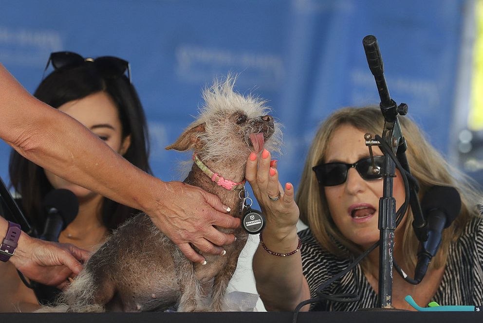 Josie, a Chinese Crested mix, is checked by judges Debbie Abrams, right, and Jo Ling Kent during the World's Ugliest Dog Contest at the Sonoma-Marin Fair in Petaluma, Calif., Saturday, June 23, 2018. Josie finished third in the contest. (AP Photo/Jeff Chiu)