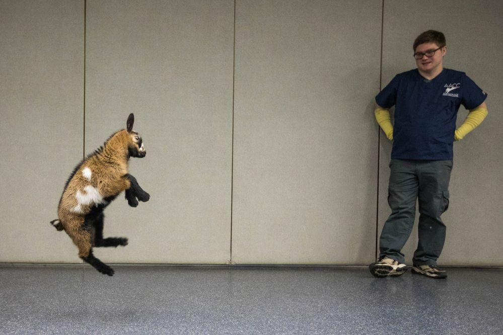 Kennel technician Christopher Markley watches a pygmy goat jump at the Anchorage Animal Control Center Friday, Oct. 12, 2018. The stray goat was adopted in under an hour. (Loren Holmes / ADN)
