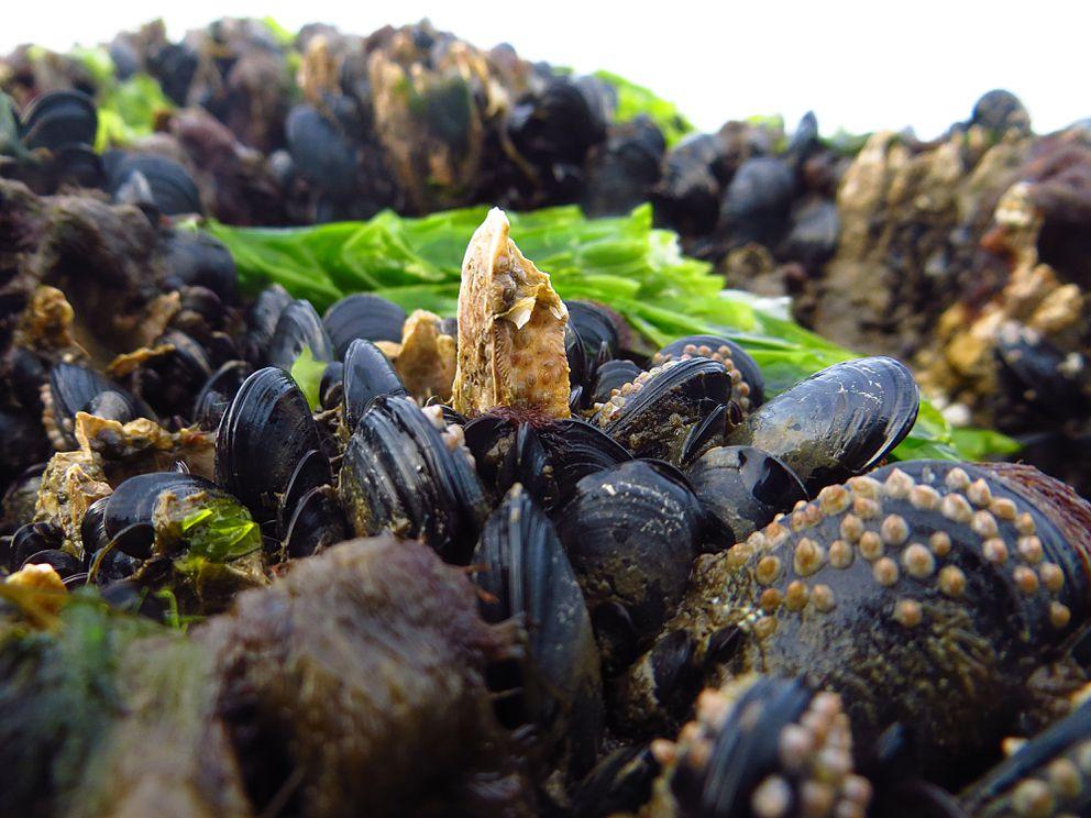Mussel shoals in Kachemak Bay. (Clark Fair)