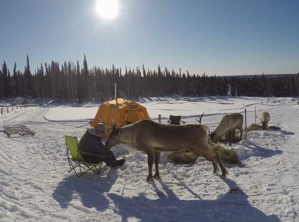 Kenji Yoshikawa acclimates some reindeer to his tent in March. (Courtesy of Kenji Yoshikawa)