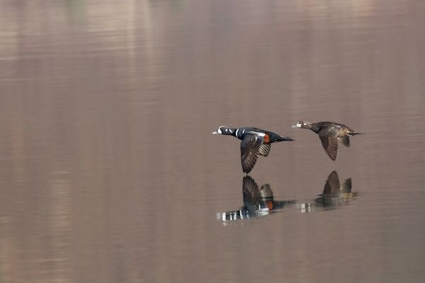 Lord and lady in synchronized flight. Harlequin ducks, May 2020. (Photo by Steve Meyer)
