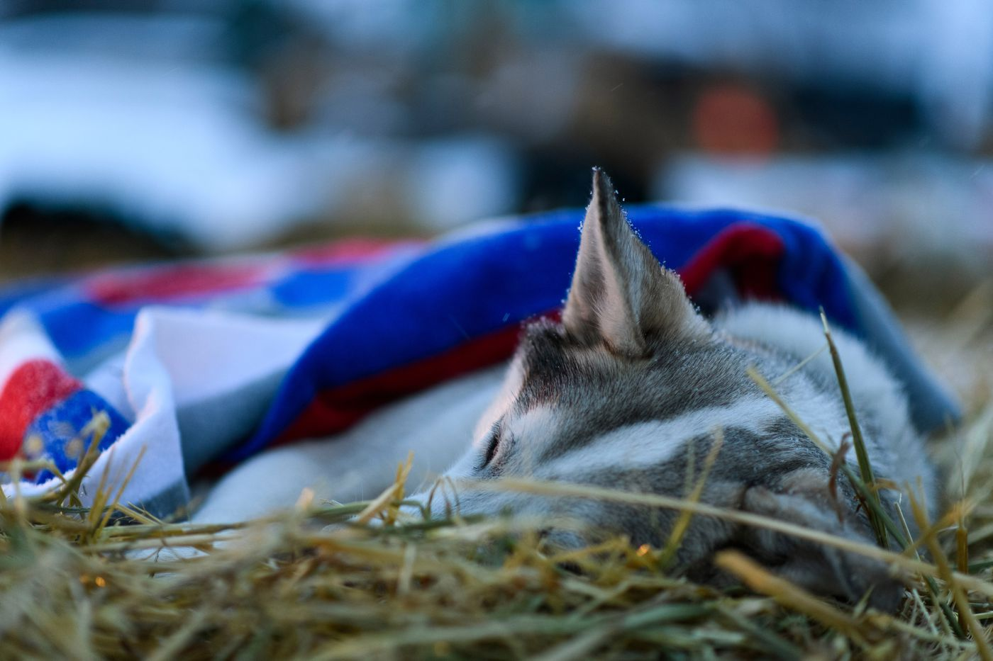 A dog from Kristin Bacon's team sleeps in Nikolai on March 6. (Marc Lester / ADN)