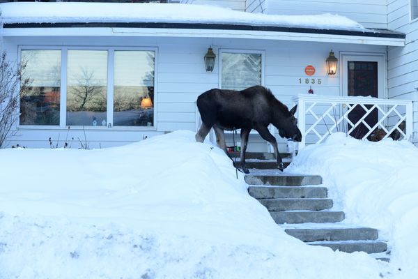 A young bull moose passes in front of a house while browsing near Westchester lagoon in Anchorage, Alaska, on Wednesday, Feb. 1, 2017. (Bob Hallinen / Alaska Dispatch News)