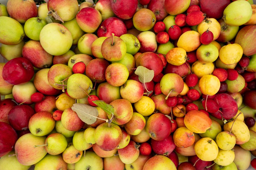 Apples picked from the Government Hill Commons orchard on Wednesday, Sept. 16, 2020. (Loren Holmes / ADN)