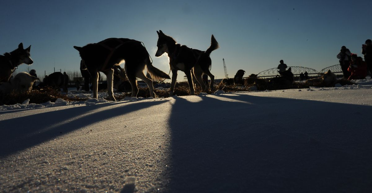 Ryan Anderson dogs rest at the Nenana checkpoint during the first day of the 2017 Iditarod Trail Sled Dog Race on Monday, March 6, 2017. (Bob Hallinen / Alaska Dispatch News)