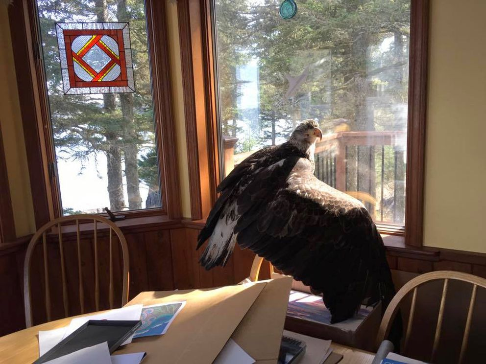An eagle crashed through her living room window in Kodiak