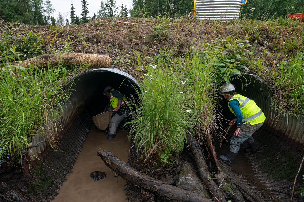Biologists Scott Graziano, left, and Megan Marie look for stranded fish in culverts underneath Northern Lights Boulevard on Thursday. (Loren Holmes / ADN)