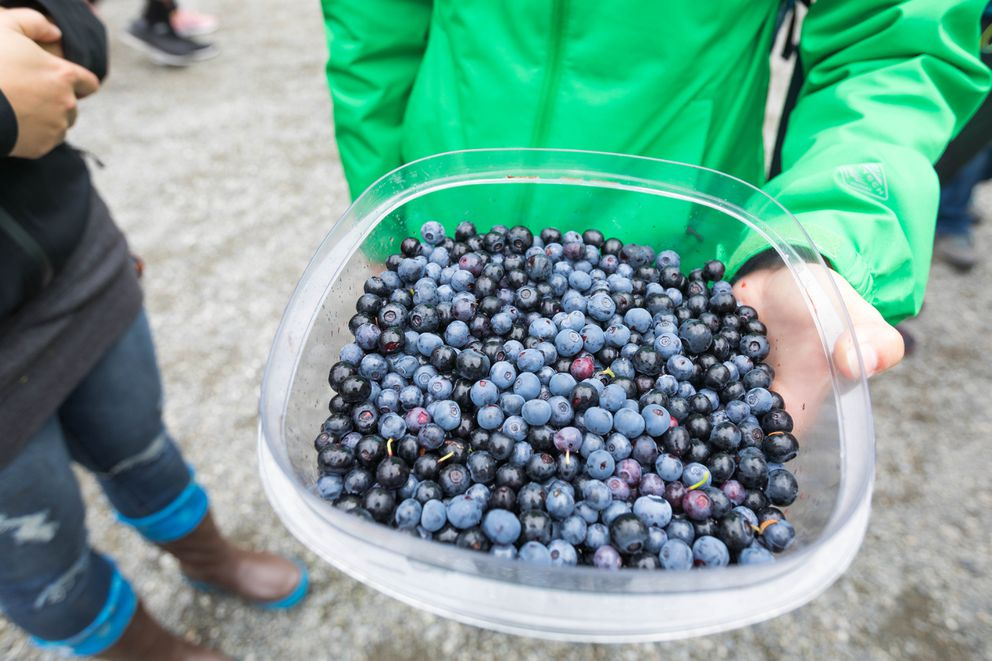 Gabriela Ruzicka holds a container of blueberries that she picked at Alyeska Resort on Saturday. (Loren Holmes / ADN)