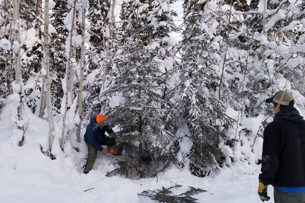 Rafael Rodriquez, a resource forester with the Alaska Division of Forestry in Fairbanks, cuts down a white spruce tree in the Tanana Valley State Forest to be used as the office Christmas tree in the Department of Natural Resources office in Fairbanks. Kevin Meany, another resource forester at DOF in Fairbanks, stands in the foreground. (Photo by Lynn Crance / DOF)