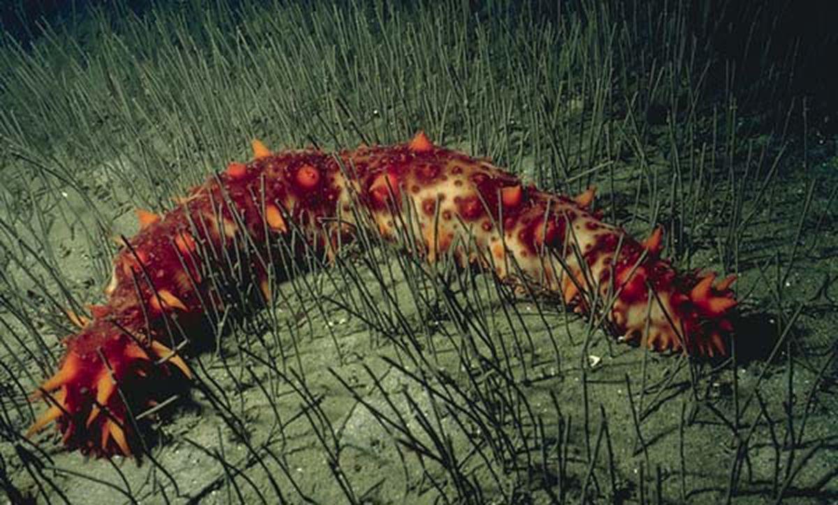 Parastichopus californicus, or the California sea cucumber, the commercial species of sea cucumber harvested in Southeast Alaska (NOAA)