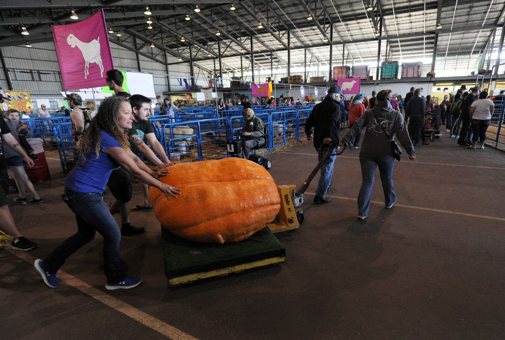 One of five pumpkins raised by Dale Marshall of Anchorage is wheeled into the Farm Exhibits building for the Alaska State Fair pumpkin weigh-off on Tuesday. The pumpkin weighed in at 791 lb., but was disqualified for having a large hole at its stem. (Erik Hill / Alaska Dispatch News)